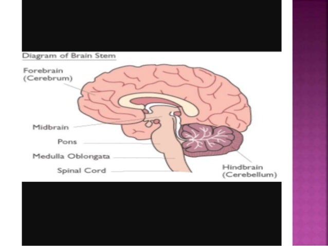 Anatomy and physiology of brain stem
