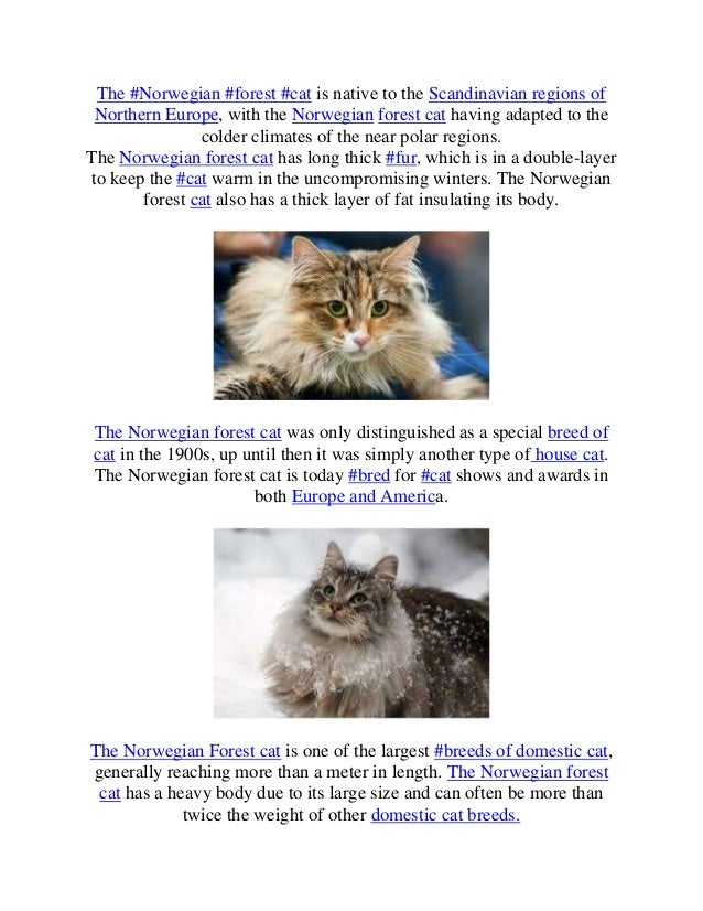 The #Norwegian #forest #cat is native to the Scandinavian regions of Northern Europe, with the Norwegian forest cat having...