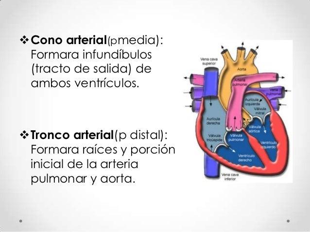 Formación tabiques tronco y cono arterial