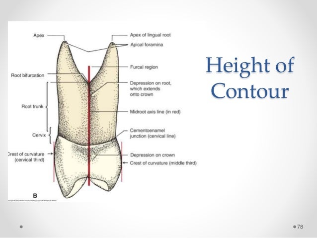 Dental Anatomy Of Maxillary Central Incisor 9523284 Togelmayafo