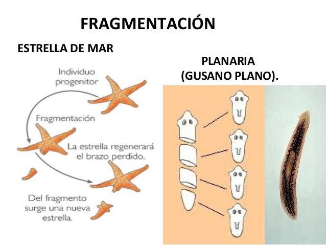 Tipos de reproduccion asexual fragmentacion