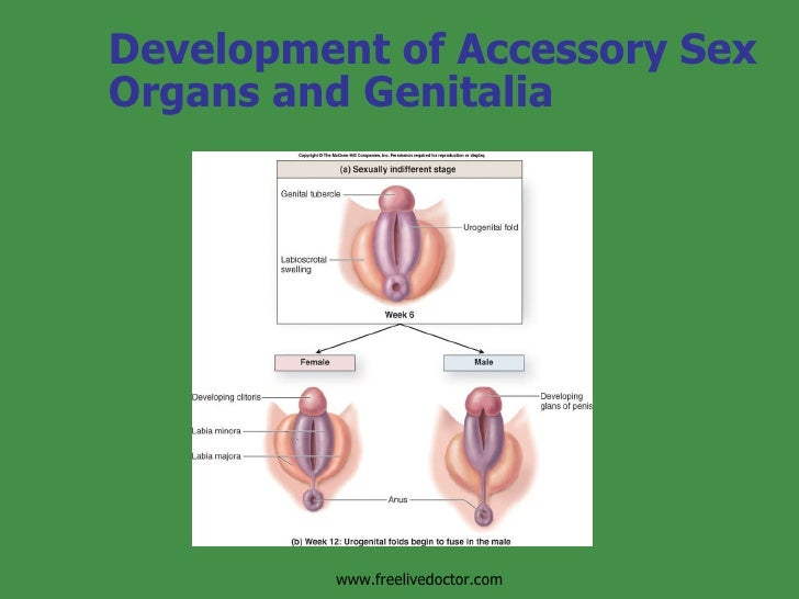 Formationdevelopment Of Reproductive System