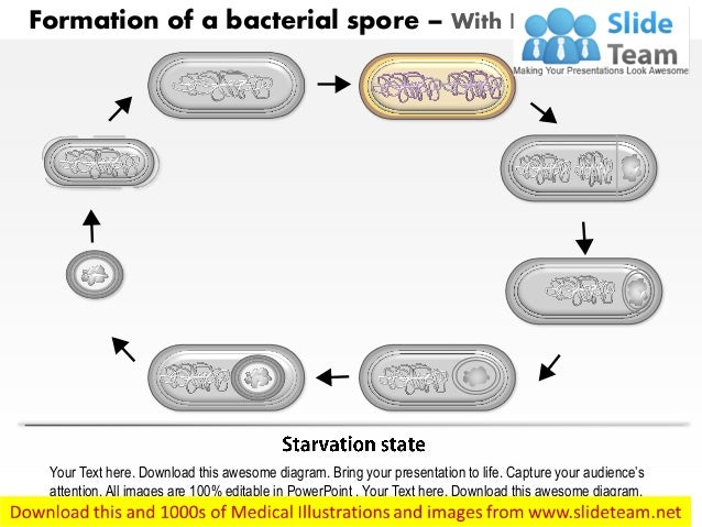 Formation of a bacterial spore by bacillus subtilis medical images fo formation of a bacterial spore with labels removed 3 ccuart Choice Image