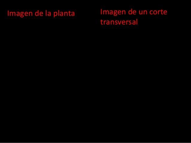 Imagen de la planta  Imagen de un corte transversal
