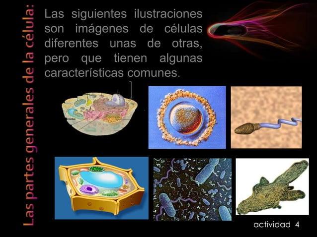 Procariota y Eucariota Las células procariotas son propias del reino monera (bacterias y cianobacterias). Tienen en común ...
