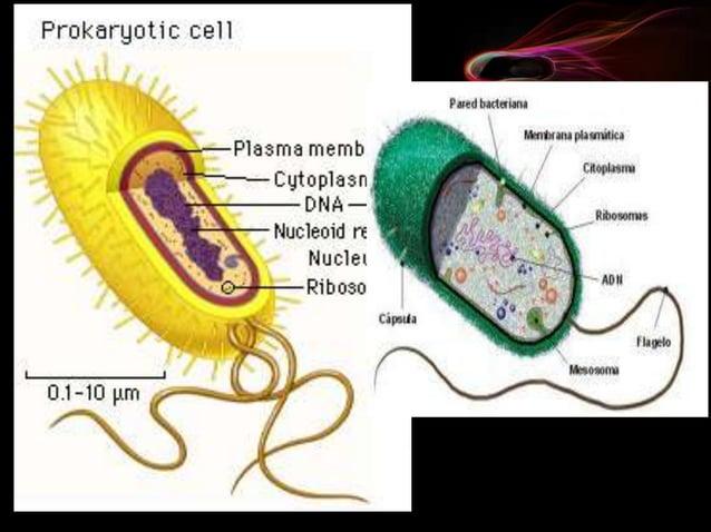 Las células eucariotas son propias del resto de los reinos de la naturaleza (protoctistas, hongos, animal y vegetal). Pres...