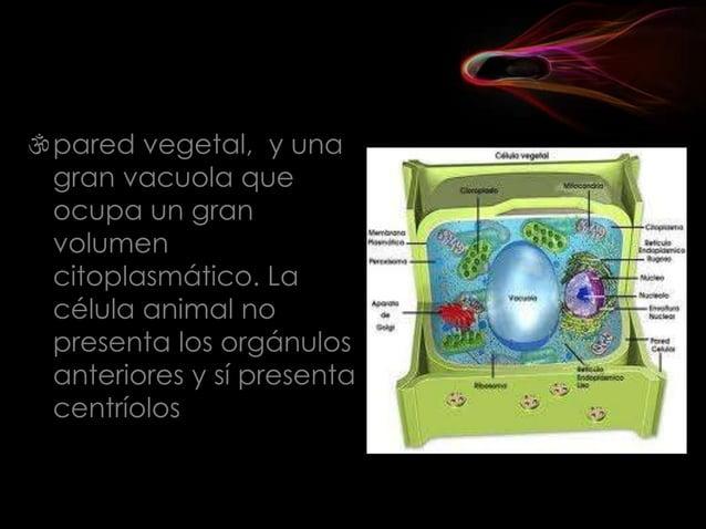  Los organismos pluricelulares están formados por un conjunto de células originadas por la proliferación de una célula in...