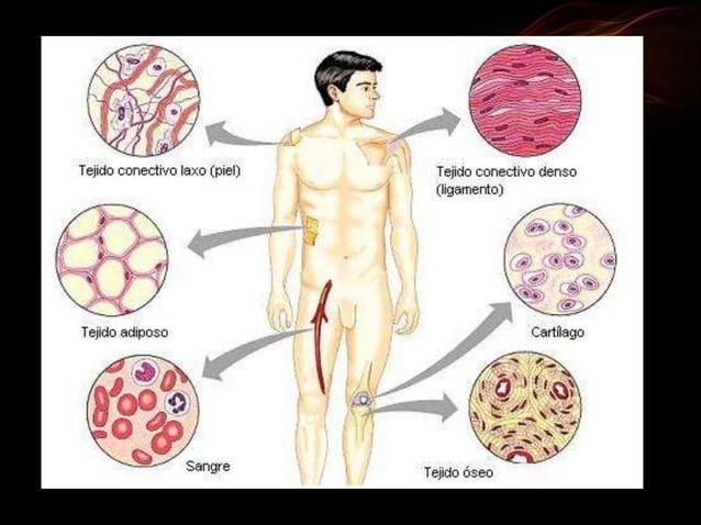 recubre la superficie exterior y todas las cavidades del cuerpo del individuo.