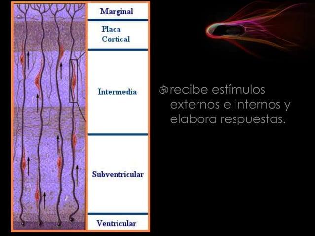 En los vegetales existen dos tipos de tejidos: los meristemáticos o embrionarios y los definitivos o adultos. Meristemátic...