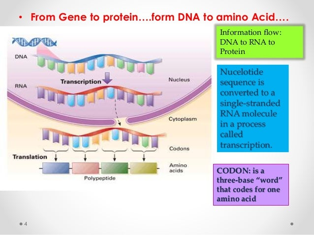 Form gene to protein and bingo