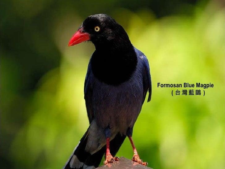 Formosan Blue Magpie ( 台灣藍鵲 )
