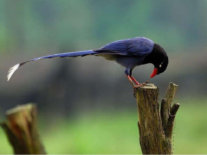 Formosan Blue Magpie - Beautiful Bird in Taiwan Slide 3