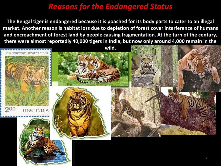 For Moses Pereira-Why Save the Tiger? Slide 2