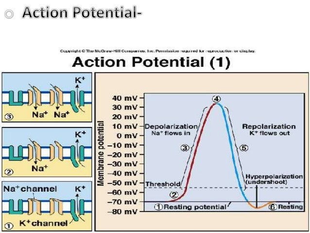 physioex 9 0 excersize 3 activity 3 action potential threshold Physioex 9 0 excersize 3 activity 3 action potential threshold physioex 9, activity #3 review questions activity #1 1 explain why increasing extracellular k+.