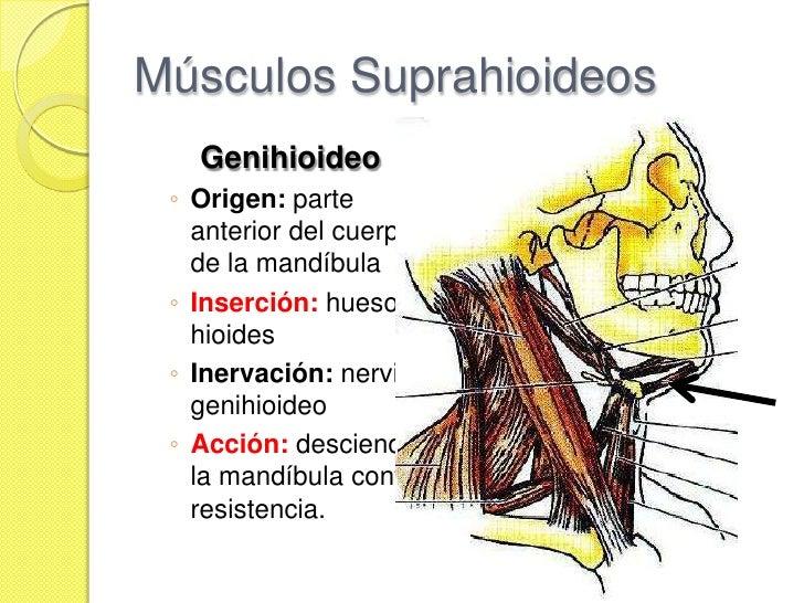 Fosa infratempora m sculos vascularizaci n y inervaci n for Esternohioideo y esternotiroideo