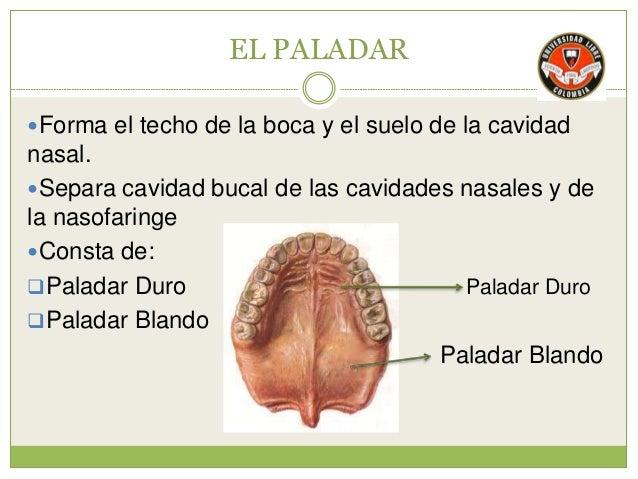 Fosa nasal y cavidad oral for Pared lateral de la cavidad nasal