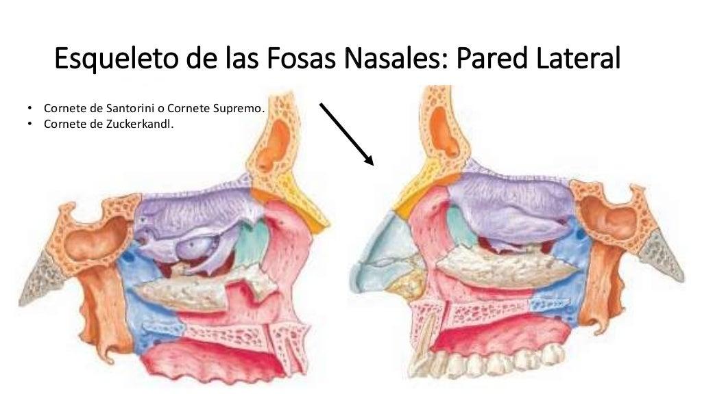Anatom a fosas nasales y nariz for Pared lateral de la cavidad nasal