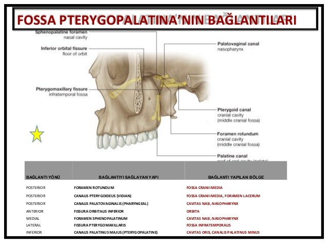 fossa temporalis  fossa infratemporalis  fossa pterygopalatina fazlas u2026