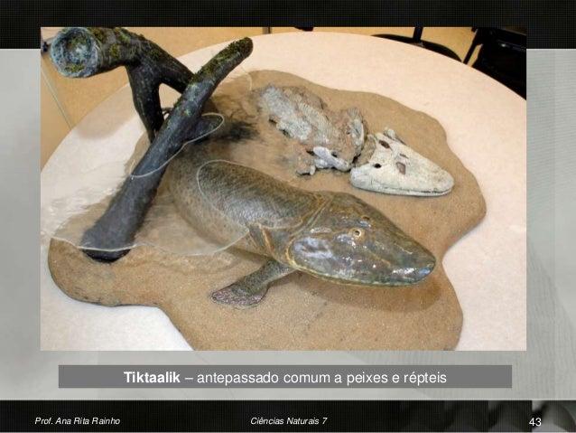 Prof. Ana Rita Rainho Ciências Naturais 7 43 Tiktaalik – antepassado comum a peixes e répteis