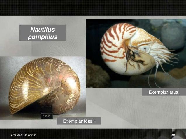 Nautilus pompilius Exemplar atual Prof. Ana Rita Rainho 48 Exemplar fóssil