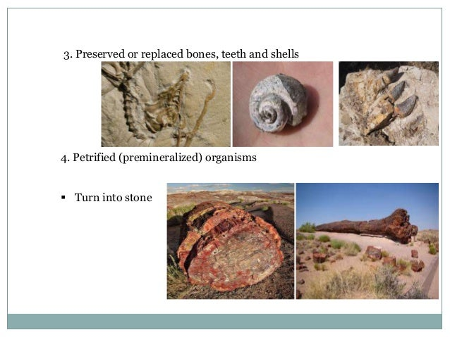 3. Preserved or replaced bones, teeth and shells  4. Petrified (premineralized) organisms  Turn into stone