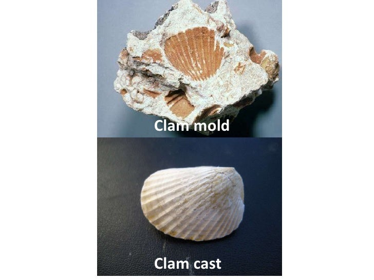 Clam moldClam cast