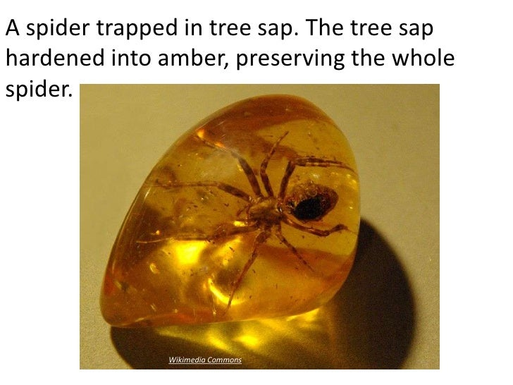 A spider trapped in tree sap. The tree saphardened into amber, preserving the wholespider.               Wikimedia Commons