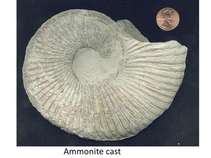 Ammonite cast