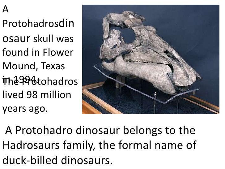 AProtohadrosdinosaur skull wasfound in FlowerMound, Texasin 1994.The Protohadroslived 98 millionyears ago.A Protohadro din...