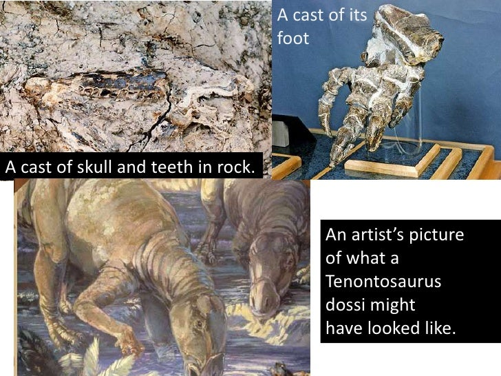 A cast of its Dinosaur remains of a Tenontosaurusdossiwere                            foot found in 1998 by a nine year ol...
