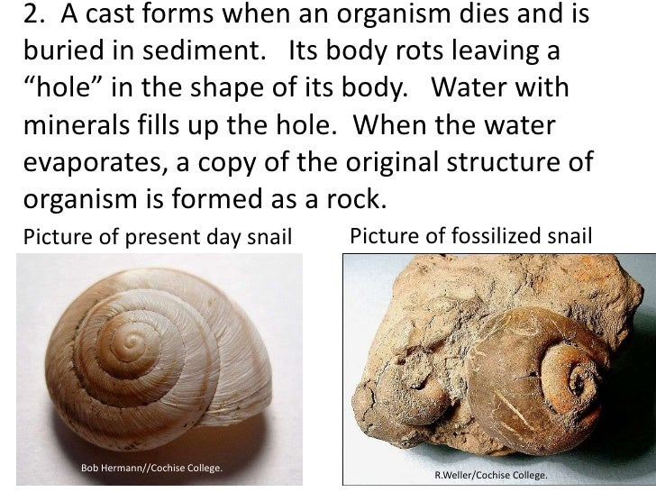 """2. A cast forms when an organism dies and isburied in sediment. Its body rots leaving a""""hole"""" in the shape of its body. Wa..."""