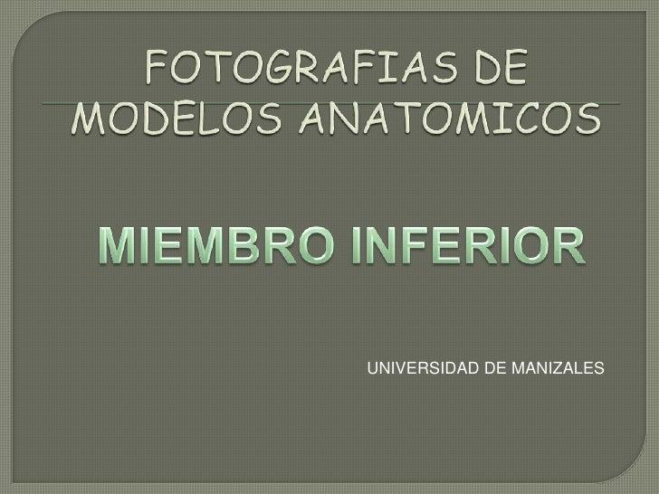 FOTOGRAFIAS DE MODELOS ANATOMICOS<br />MIEMBRO INFERIOR<br />UNIVERSIDAD DE MANIZALES<br />