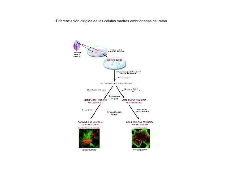 Diferenciación dirigida de las células madres embrionarias del ratón.