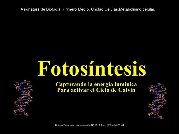 <ul><li>Fotosíntesis </li></ul><ul><ul><li>Capturando la energía lumínica Para activar el Ciclo de Calvin </li></ul></ul>A...