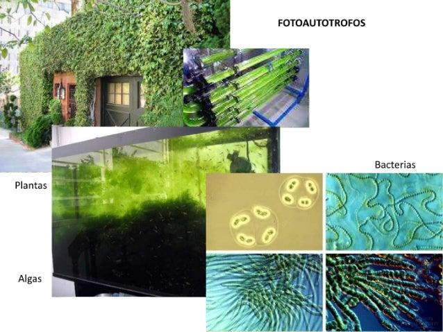 """FOTOAUTOTROFOS  Bacterias """"EJ        Plantas  Algas"""