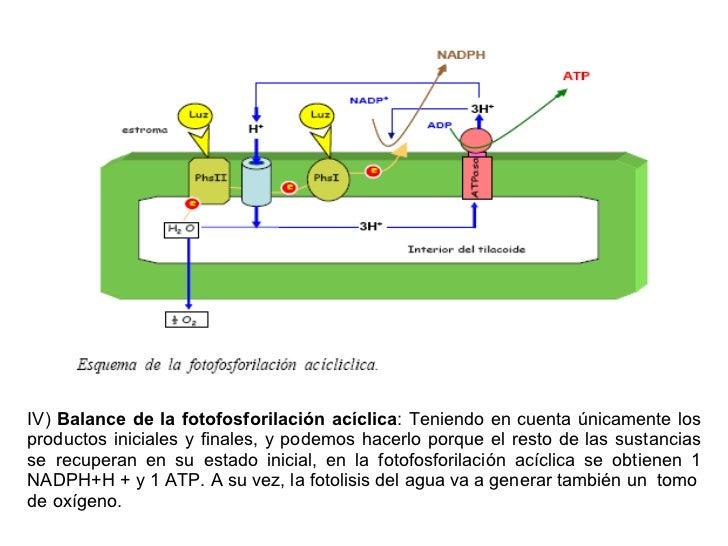 En la fotofosforilacion ciclica se sintetiza 26