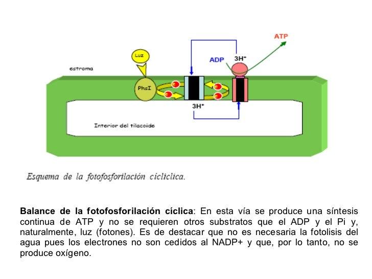 En la fotofosforilacion ciclica se sintetiza 28