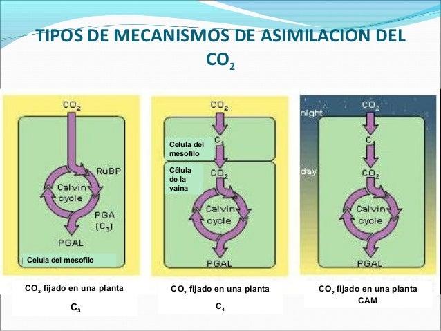 Fotosintesis c3 c4 y cam ppt 38916911d4