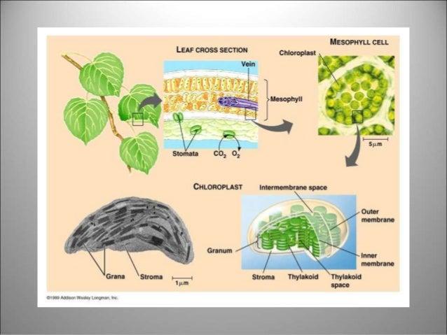 Kaktus melakukan fotosintesis pada organ 26