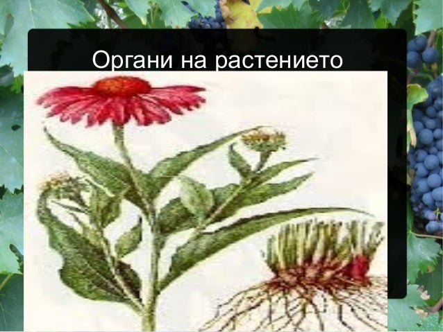 Органи на растението
