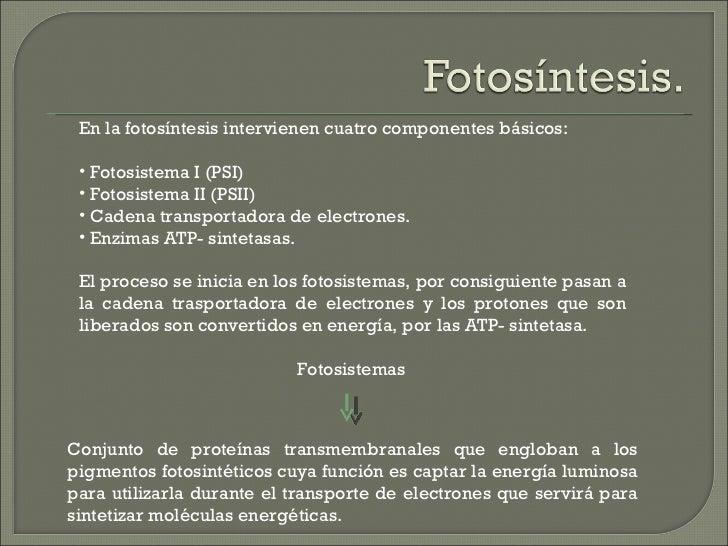 En la fotosíntesis intervienen cuatro componentes básicos: • Fotosistema I (PSI) • Fotosistema II (PSII) • Cadena transpor...