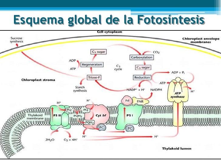 La Fotosntesis - m 89