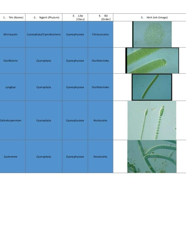 1. Tên (Name) 2. Ngành (Phylum) 3. Lớp (Class) 4. Bộ (Order) 5. Hình ảnh (Image) Microcystis Cyanophyta/Cyanobacteria Cyan...