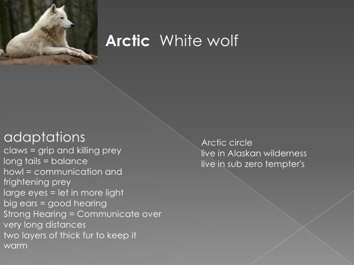 Arctic White wolfadaptations                          Arctic circleclaws = grip and killing prey        live in Alaskan wi...
