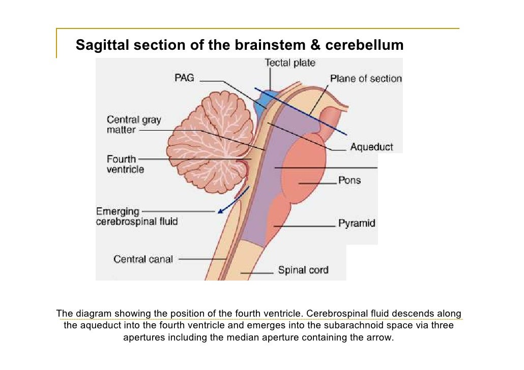 Brain diagram fourth ventricle basic guide wiring diagram fourth ventricle rh slideshare net brain body diagram brain lobes diagram ccuart Gallery