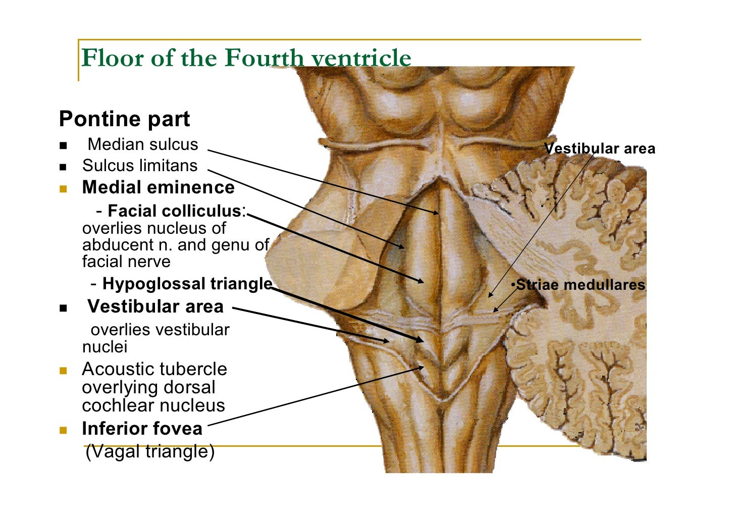 Fourth ventricle