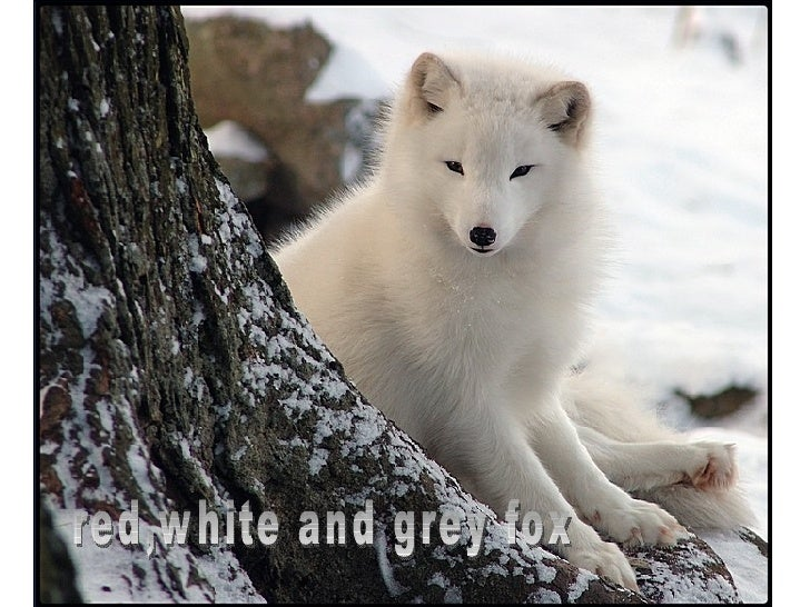 red,white and grey fox
