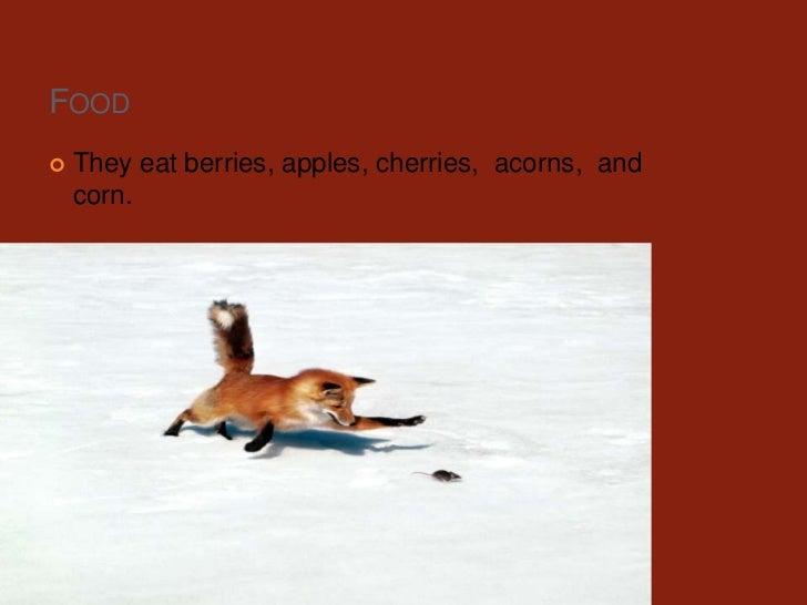 Food<br />They eat berries, apples, cherries,  acorns,  and corn.<br />