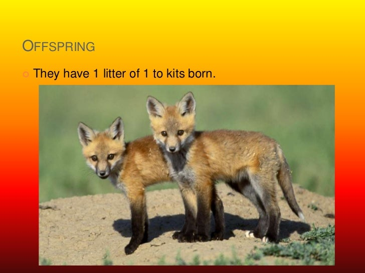 Offspring<br />They have 1 litter of 1 to kits born.<br />