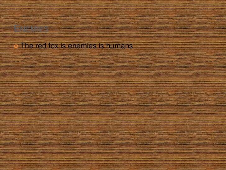 Enemies<br />The red fox is enemies is humans<br />